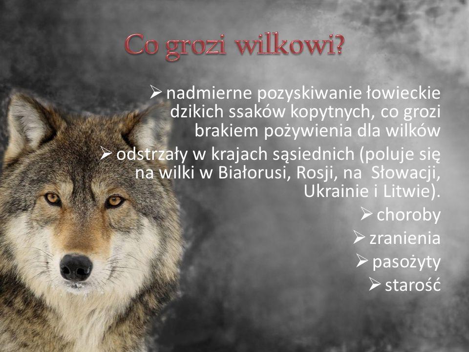  nadmierne pozyskiwanie łowieckie dzikich ssaków kopytnych, co grozi brakiem pożywienia dla wilków  odstrzały w krajach sąsiednich (poluje się na wilki w Białorusi, Rosji, na Słowacji, Ukrainie i Litwie).