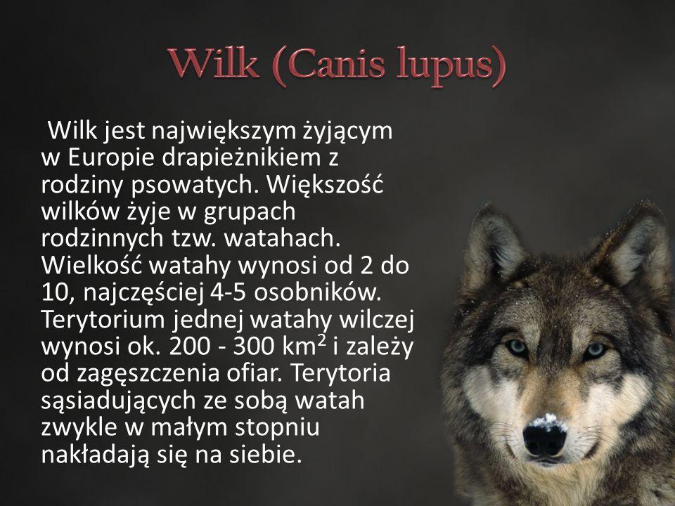 Wilk jest największym żyjącym w Europie drapieżnikiem z rodziny psowatych.