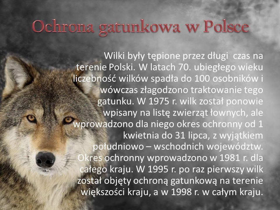 Wilki były tępione przez długi czas na terenie Polski.