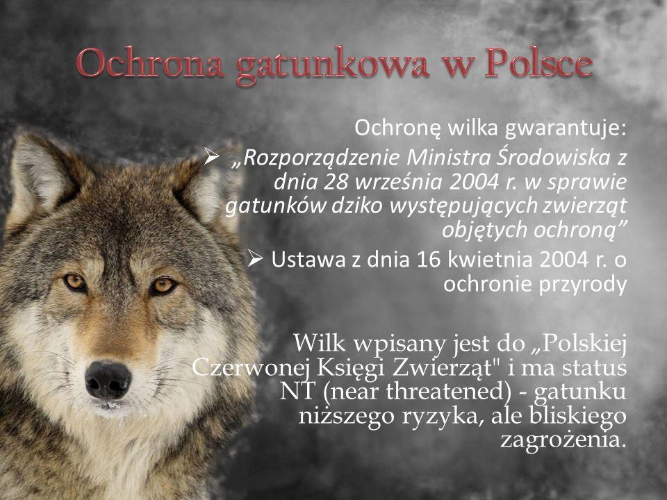 """Ochronę wilka gwarantuje:  """"Rozporządzenie Ministra Środowiska z dnia 28 września 2004 r."""