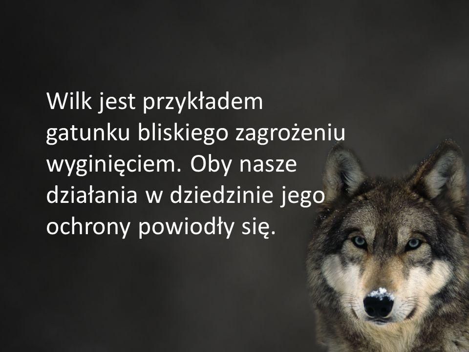 Wilk jest przykładem gatunku bliskiego zagrożeniu wyginięciem.