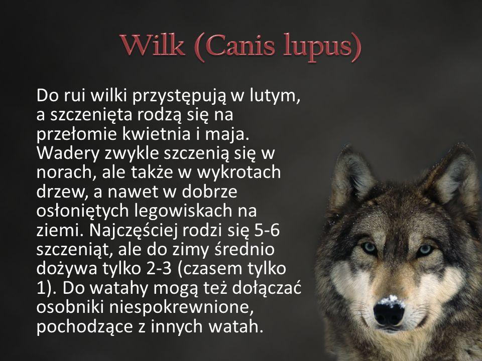 Do rui wilki przystępują w lutym, a szczenięta rodzą się na przełomie kwietnia i maja.