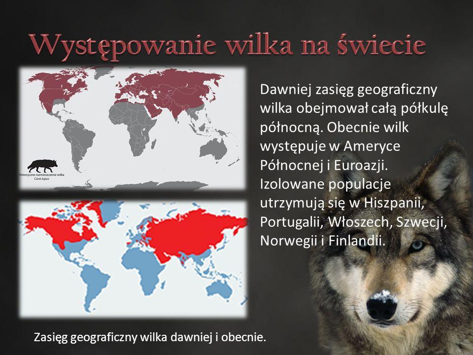 Dawniej zasięg geograficzny wilka obejmował całą półkulę północną.