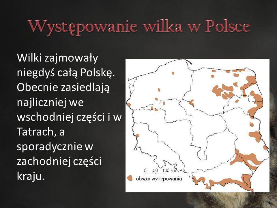 Wilki zajmowały niegdyś całą Polskę.