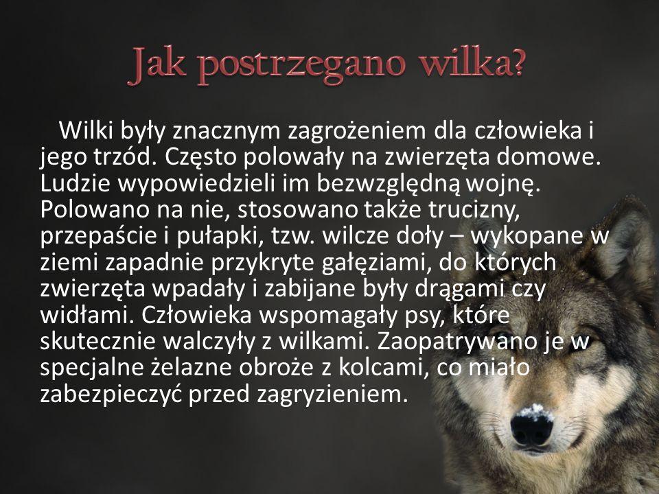 Wilki były znacznym zagrożeniem dla człowieka i jego trzód.