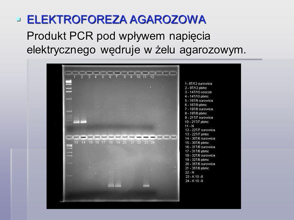  ELEKTROFOREZA AGAROZOWA Produkt PCR pod wpływem napięcia elektrycznego wędruje w żelu agarozowym.
