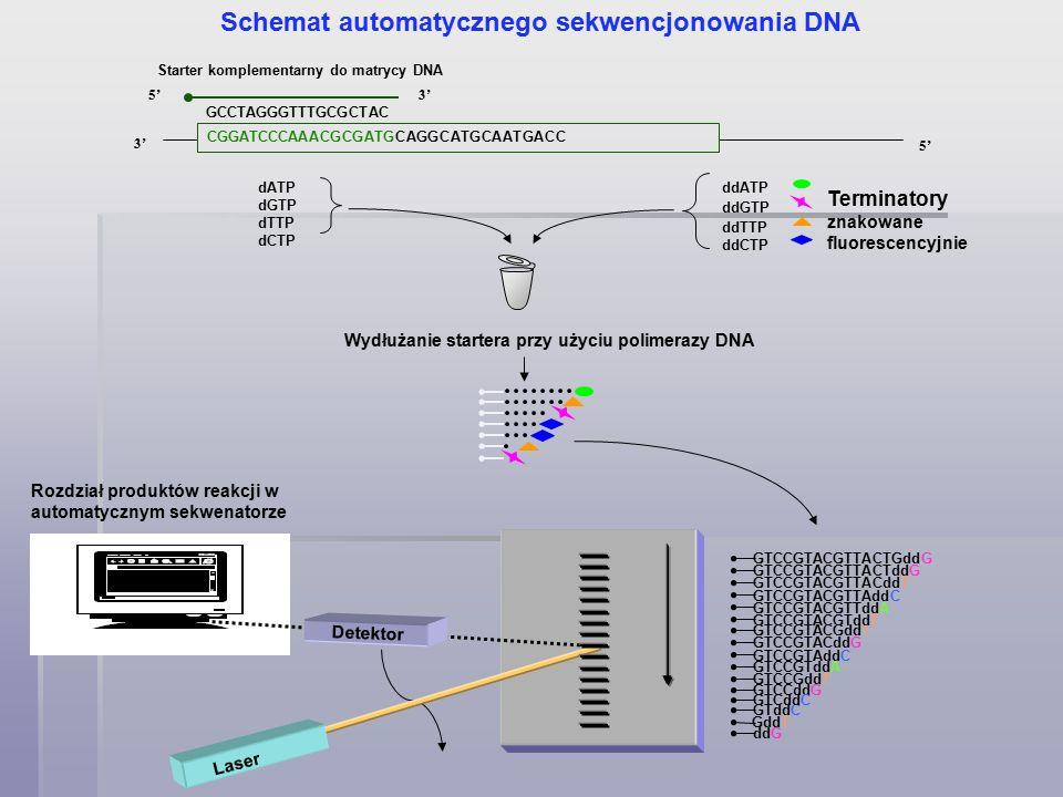 Starter komplementarny do matrycy DNA 3' 5' 3' GCCTAGGGTTTGCGCTAC Wydłużanie startera przy użyciu polimerazy DNA CGGATCCCAAACGCGATGCAGGCATGCAATGACC Schemat automatycznego sekwencjonowania DNA dATP dGTP dTTP dCTP ddCTP ddTTP ddATP ddGTP Terminatory znakowane fluorescencyjnie ddG GTddC GddT GTCCddG GTCddC GTCCGddT GTCCGTddA GTCCGTACddG GTCCGTAddC GTCCGTACGddT GTCCGTACGTddT GTCCGTACGTTddA GTCCGTACGTTAddC GTCCGTACGTTACddT GTCCGTACGTTACTddG GTCCGTACGTTACTGddG Laser Detektor Rozdział produktów reakcji w automatycznym sekwenatorze