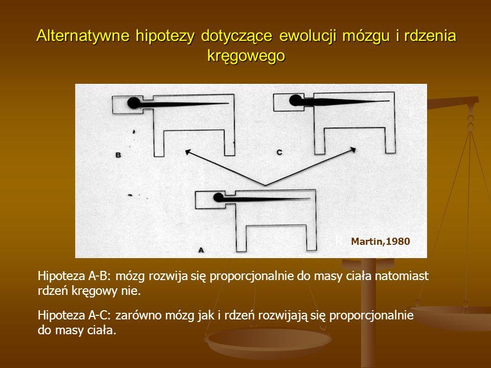 Alternatywne hipotezy dotyczące ewolucji mózgu i rdzenia kręgowego Hipoteza A-B: mózg rozwija się proporcjonalnie do masy ciała natomiast rdzeń kręgow