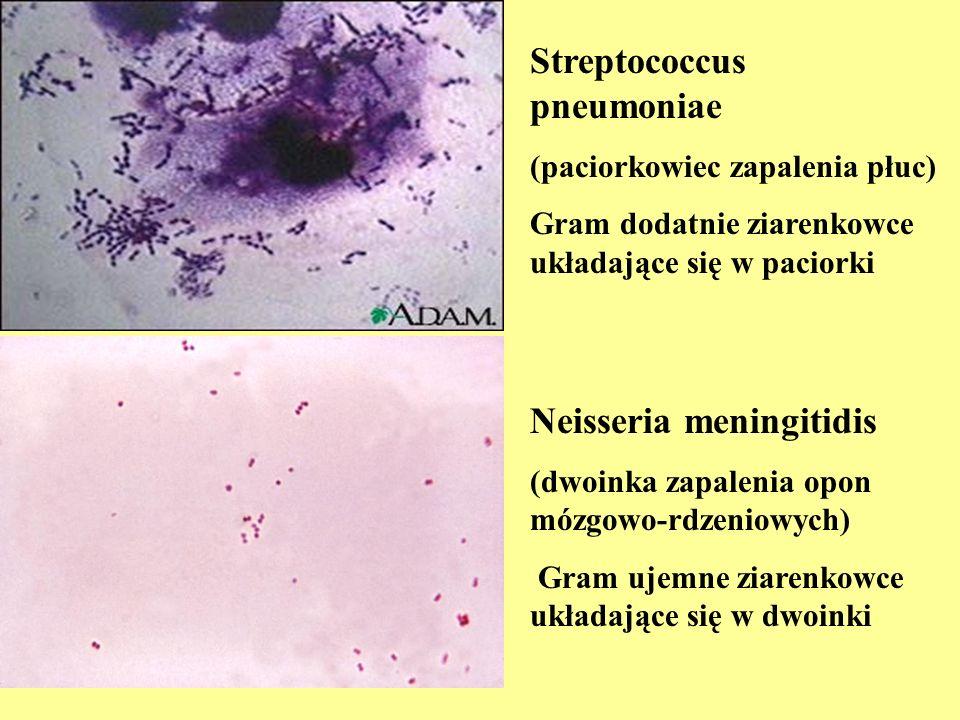 Neisseria meningitidis (dwoinka zapalenia opon mózgowo-rdzeniowych) Gram ujemne ziarenkowce układające się w dwoinki Streptococcus pneumoniae (paciork