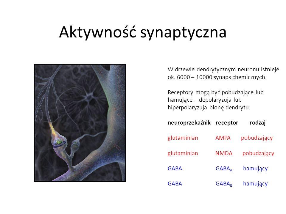 Aktywność synaptyczna W drzewie dendrytycznym neuronu istnieje ok. 6000 – 10000 synaps chemicznych. Receptory mogą być pobudzające lub hamujące – depo