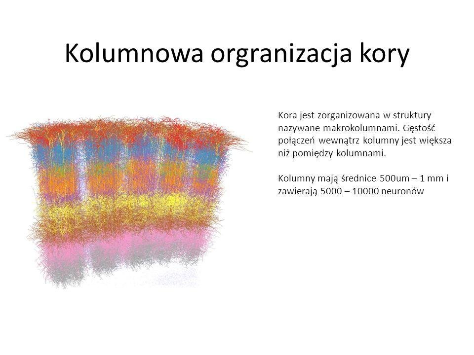 Kolumnowa orgranizacja kory Kora jest zorganizowana w struktury nazywane makrokolumnami. Gęstość połączeń wewnątrz kolumny jest większa niż pomiędzy k