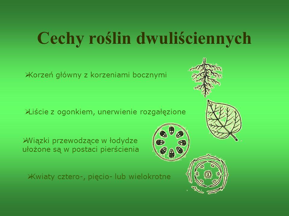 Cechy roślin dwuliściennych  Korzeń główny z korzeniami bocznymi  Liście z ogonkiem, unerwienie rozgałęzione  Wiązki przewodzące w łodydze ułożone