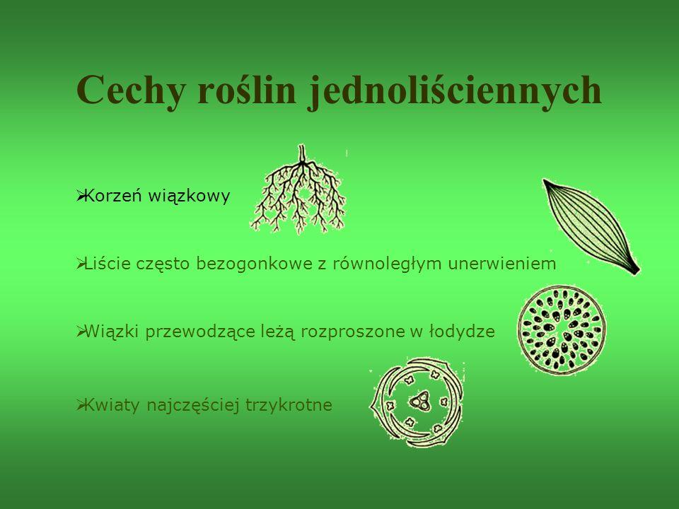 Cechy roślin jednoliściennych  Korzeń wiązkowy  Liście często bezogonkowe z równoległym unerwieniem  Wiązki przewodzące leżą rozproszone w łodydze
