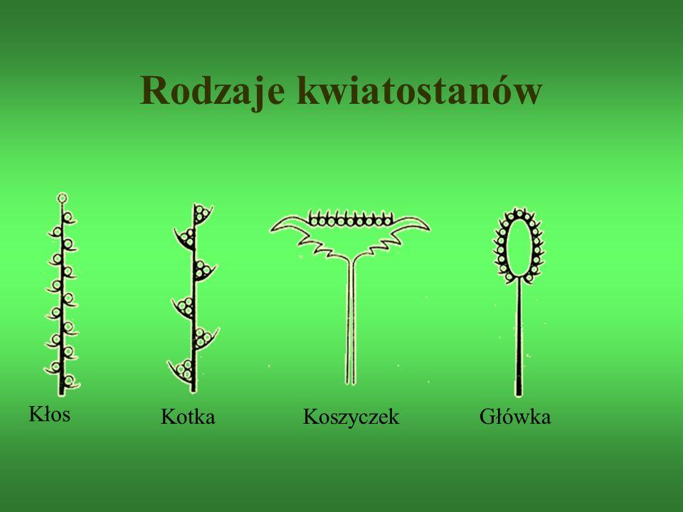 Rodzaje kwiatostanów Kłos KotkaKoszyczekGłówka
