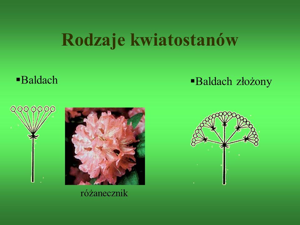 Rodzaje kwiatostanów  Baldach  Baldach złożony różanecznik