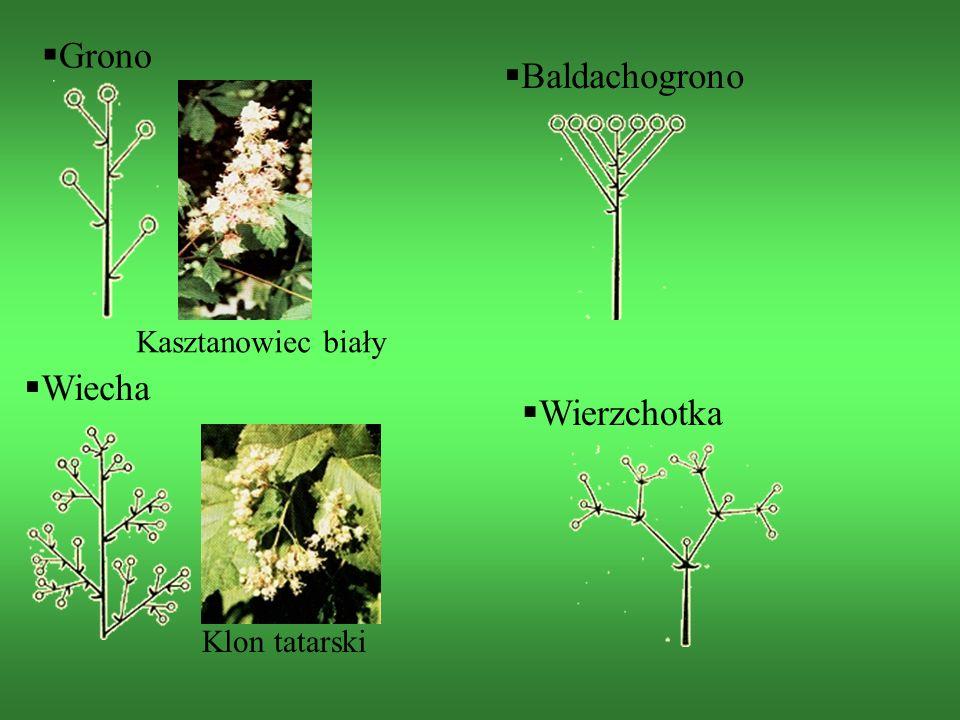 Kasztanowiec biały  Grono  Baldachogrono  Wiecha Klon tatarski  Wierzchotka