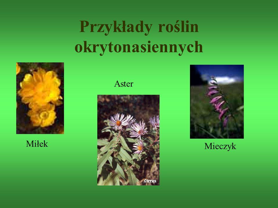 Przykłady roślin okrytonasiennych Aster Miłek Mieczyk