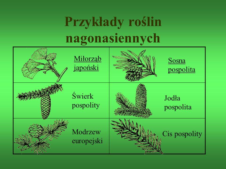 Przykłady roślin nagonasiennych Modrzew europejski Cis pospolity Świerk pospolity Jodła pospolita Miłorząb japoński Sosna pospolita