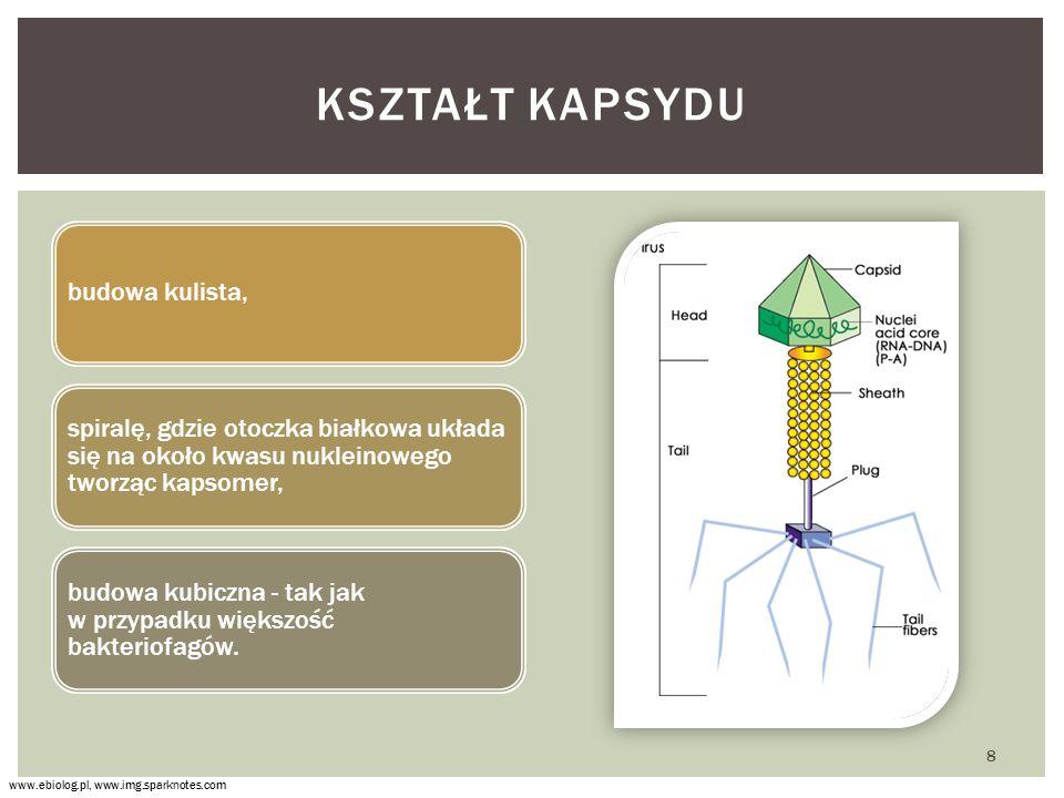 budowa kulista, spiralę, gdzie otoczka białkowa układa się na około kwasu nukleinowego tworząc kapsomer, budowa kubiczna - tak jak w przypadku większość bakteriofagów.
