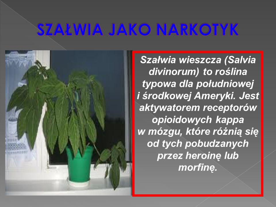 Szałwia wieszcza (Salvia divinorum) to roślina typowa dla południowej i środkowej Ameryki. Jest aktywatorem receptorów opioidowych kappa w mózgu, któr