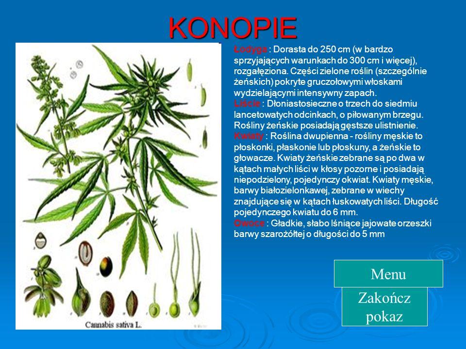 KONOPIE  Pochodzą  Pochodzą z Azji, są rośliną dwuletnią. Łodyga dochodzi do 2,5 m wys. Oprócz cennych włókien konopnych dostarczają również oleju k