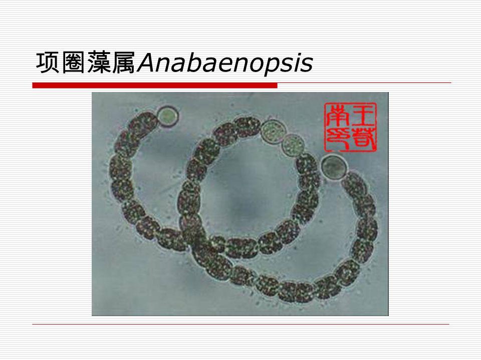 色球藻属 Chroococcus