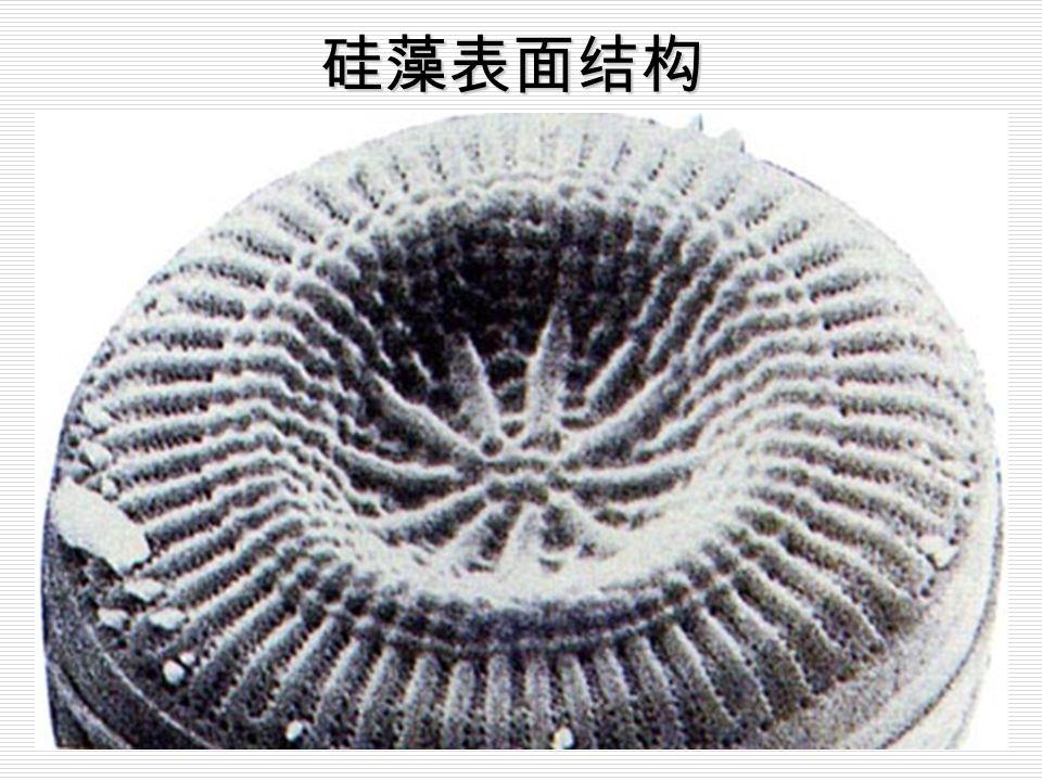 硅藻门植物