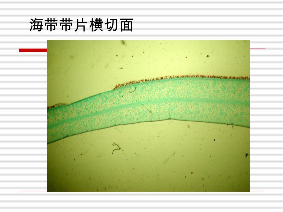 褐藻门代表植物 : 海带 Laminaria japonica Aresch