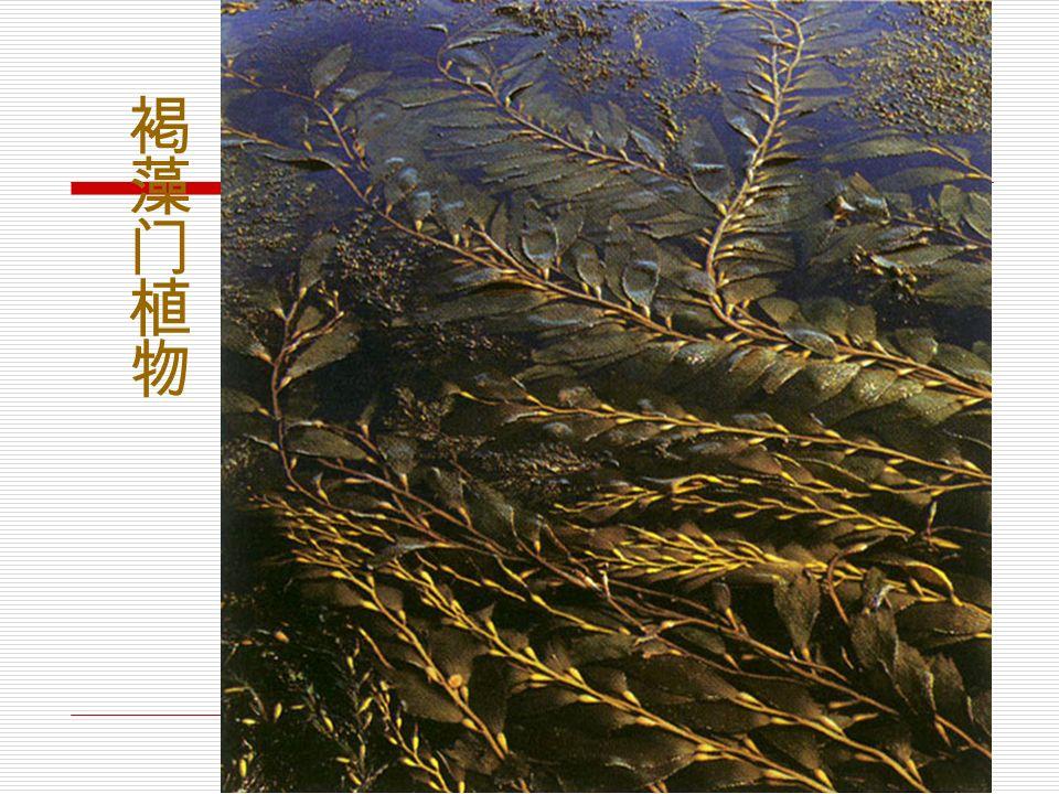 海带的生活史海带的生活史海带的生活史海带的生活史