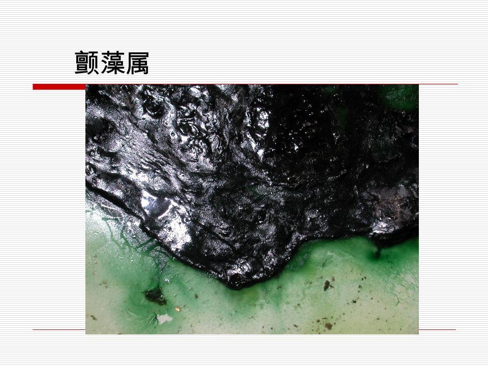 蓝藻门代表植物: 颤藻属( Oscillatoria )  由于丝状体的藻体能做前后左右的运动, 故而得名。常分布于有机质丰富的湿地与 浅水中或是下水道的出口两边,藻体常密 集着生,在外观呈黑色天鹅绒般光泽的膜 状物。