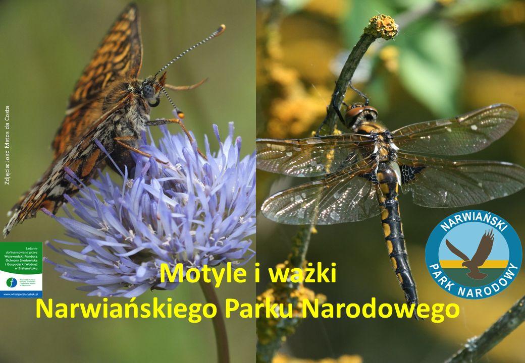 Motyle i ważki Narwiańskiego Parku Narodowego Zdjęcia: Joao Matos da Costa