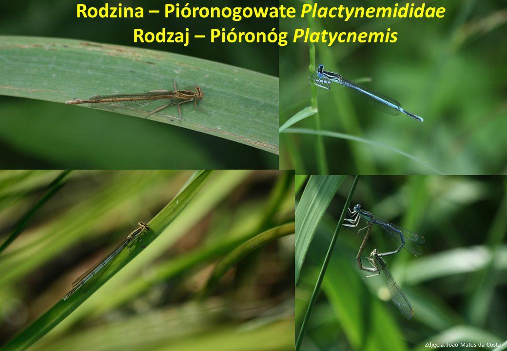 Rodzina – Pióronogowate Plactynemididae Rodzaj – Pióronóg Platycnemis Zdjęcia: Joao Matos da Costa