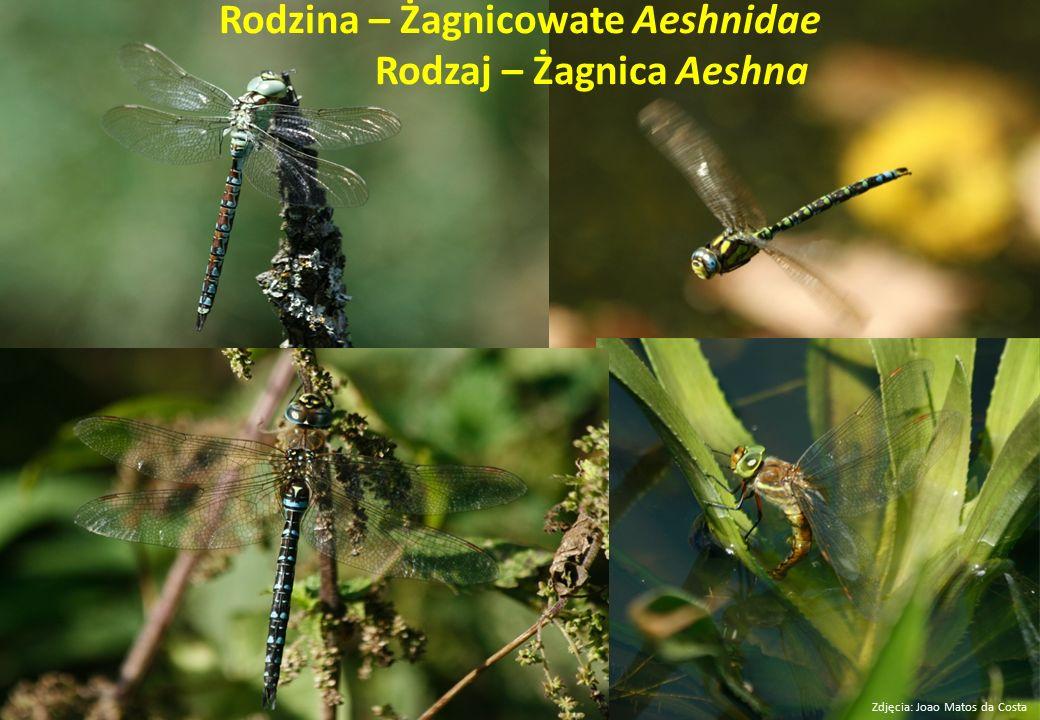 Rodzina – Żagnicowate Aeshnidae Rodzaj – Żagnica Aeshna Zdjęcia: Joao Matos da Costa