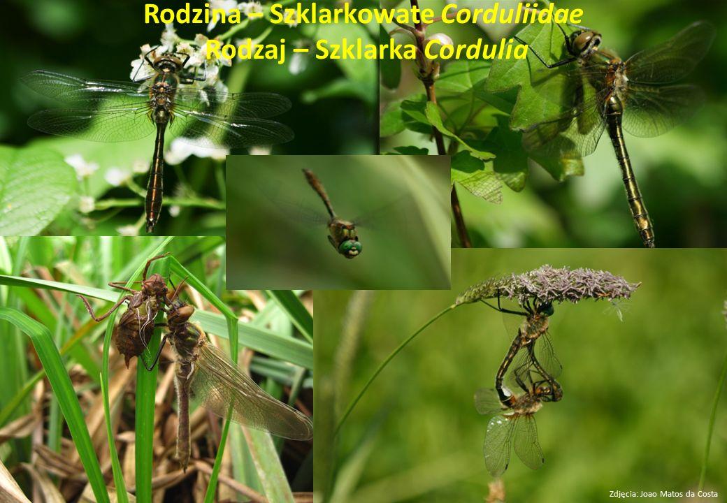 Rodzina – Szklarkowate Corduliidae Rodzaj – Szklarka Cordulia Zdjęcia: Joao Matos da Costa
