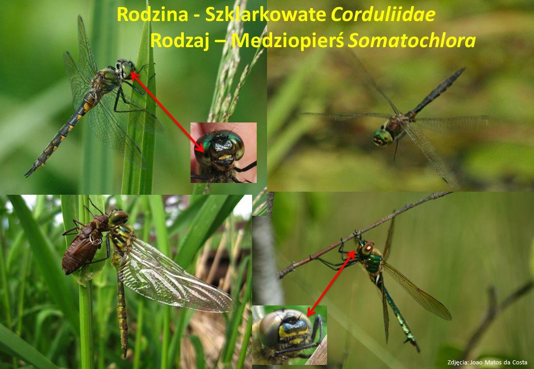 Rodzina - Szklarkowate Corduliidae Rodzaj – Medziopierś Somatochlora Zdjęcia: Joao Matos da Costa