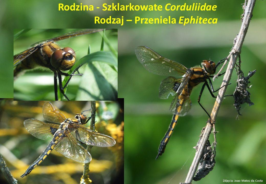 Rodzina - Szklarkowate Corduliidae Rodzaj – Przeniela Ephiteca Zdjęcia: Joao Matos da Costa