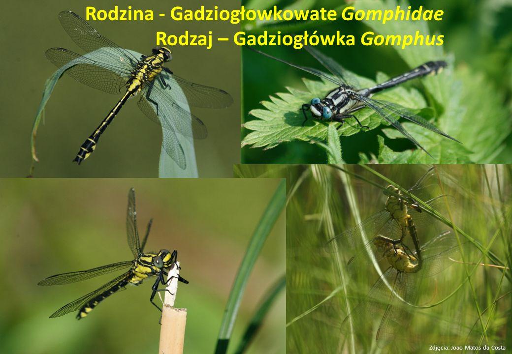 Rodzina - Gadziogłowkowate Gomphidae Rodzaj – Gadziogłówka Gomphus Zdjęcia: Joao Matos da Costa