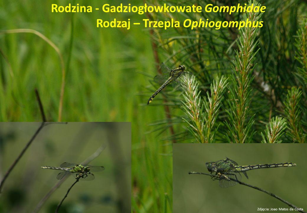 Rodzina - Gadziogłowkowate Gomphidae Rodzaj – Trzepla Ophiogomphus Zdjęcia: Joao Matos da Costa