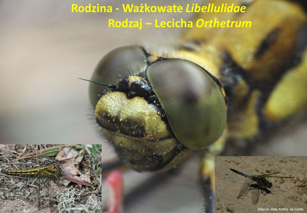 Rodzina - Ważkowate Libellulidae Rodzaj – Lecicha Orthetrum Zdjęcia: Joao Matos da Costa