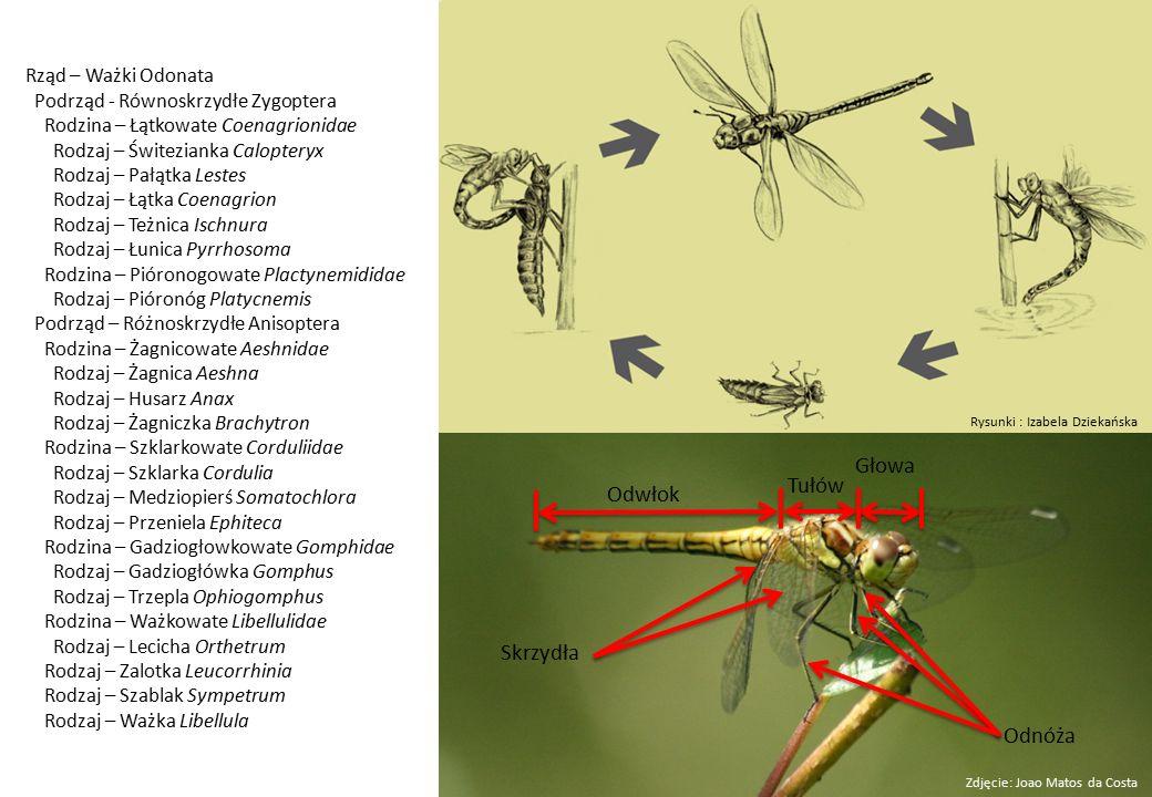 Rząd – Ważki Odonata Podrząd - Równoskrzydłe Zygoptera Rodzina – Łątkowate Coenagrionidae Rodzaj – Świtezianka Calopteryx Rodzaj – Pałątka Lestes Rodzaj – Łątka Coenagrion Rodzaj – Teżnica Ischnura Rodzaj – Łunica Pyrrhosoma Rodzina – Pióronogowate Plactynemididae Rodzaj – Pióronóg Platycnemis Podrząd – Różnoskrzydłe Anisoptera Rodzina – Żagnicowate Aeshnidae Rodzaj – Żagnica Aeshna Rodzaj – Husarz Anax Rodzaj – Żagniczka Brachytron Rodzina – Szklarkowate Corduliidae Rodzaj – Szklarka Cordulia Rodzaj – Medziopierś Somatochlora Rodzaj – Przeniela Ephiteca Rodzina – Gadziogłowkowate Gomphidae Rodzaj – Gadziogłówka Gomphus Rodzaj – Trzepla Ophiogomphus Rodzina – Ważkowate Libellulidae Rodzaj – Lecicha Orthetrum Rodzaj – Zalotka Leucorrhinia Rodzaj – Szablak Sympetrum Rodzaj – Ważka Libellula Odwłok Głowa Tułów Odnóża Skrzydła Zdjęcie: Joao Matos da Costa Rysunki : Izabela Dziekańska