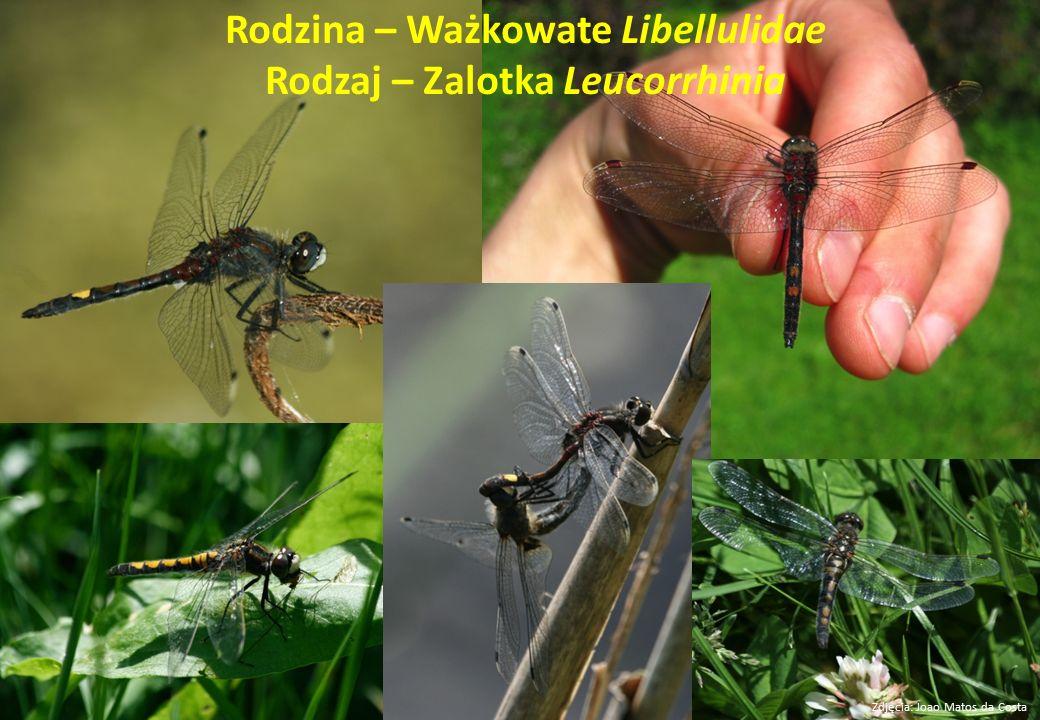 Rodzina – Ważkowate Libellulidae Rodzaj – Zalotka Leucorrhinia Zdjęcia: Joao Matos da Costa