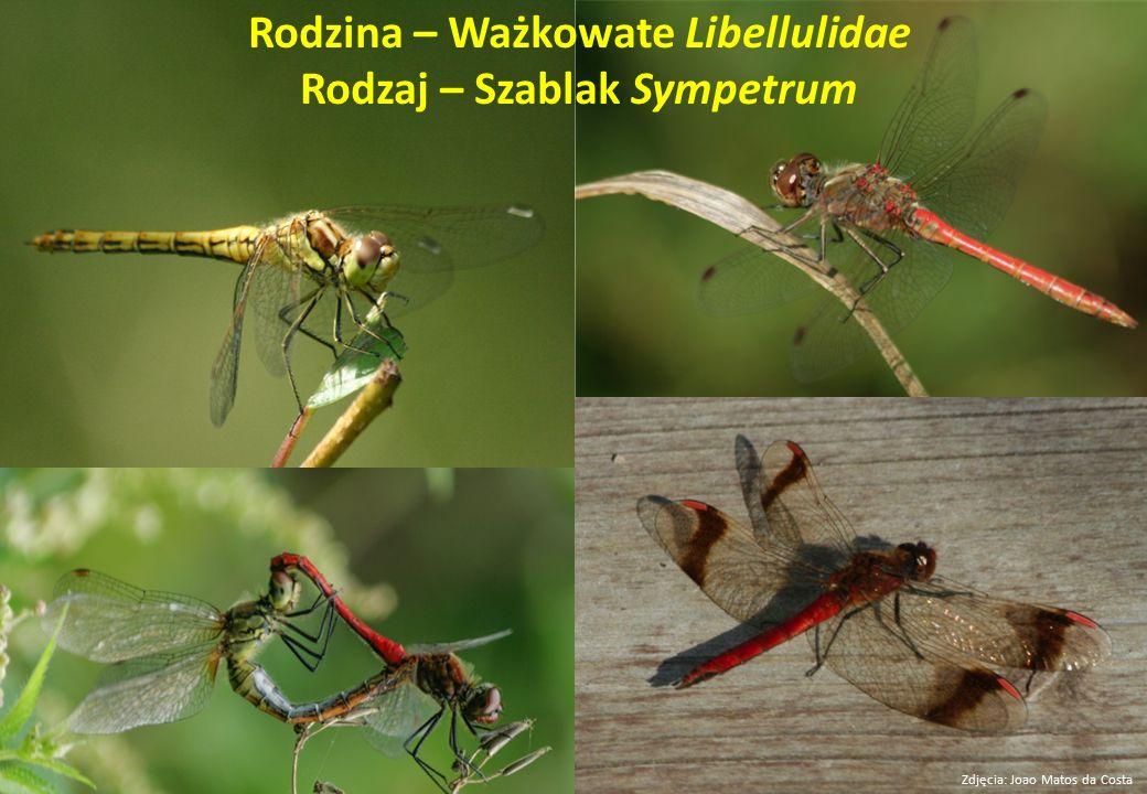 Rodzina – Ważkowate Libellulidae Rodzaj – Szablak Sympetrum Zdjęcia: Joao Matos da Costa