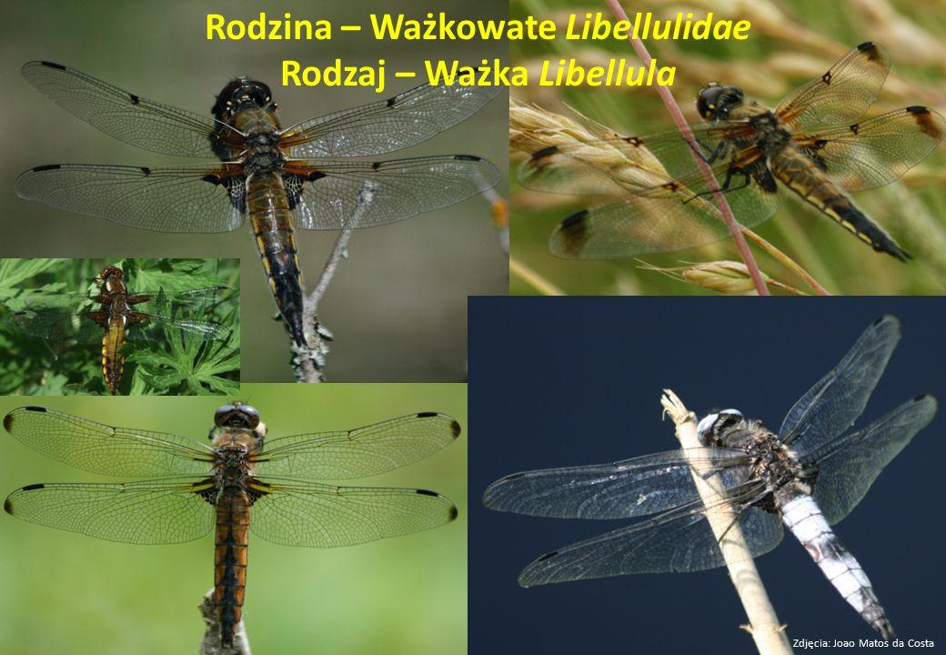 Rodzina – Ważkowate Libellulidae Rodzaj – Ważka Libellula Zdjęcia: Joao Matos da Costa