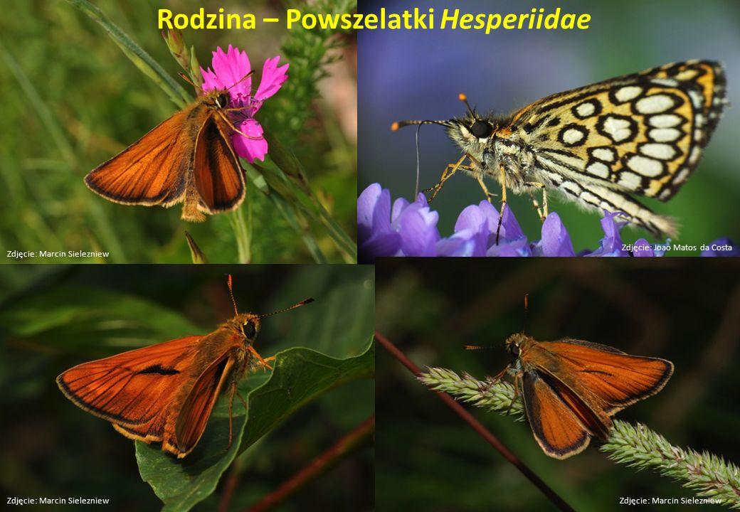 Rodzina – Powszelatki Hesperiidae Zdjęcie: Marcin Sielezniew Zdjęcie: Joao Matos da Costa