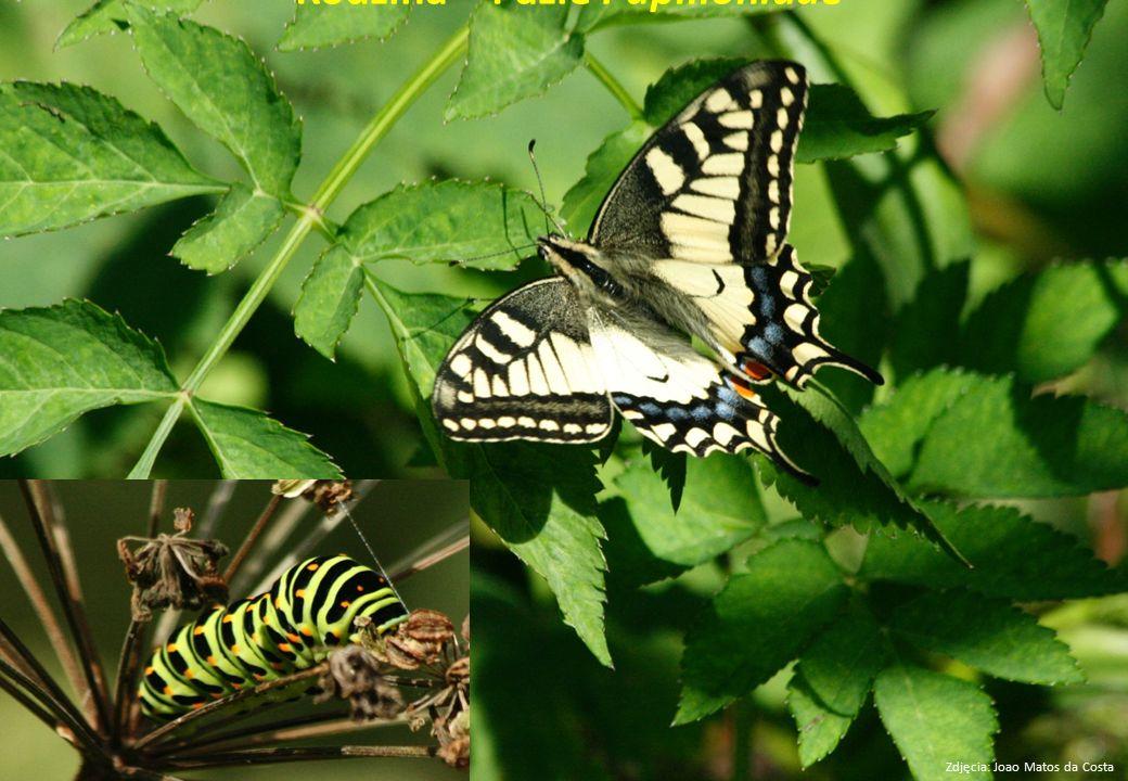 Rodzina – Pazie Papilionidae Zdjęcia: Joao Matos da Costa
