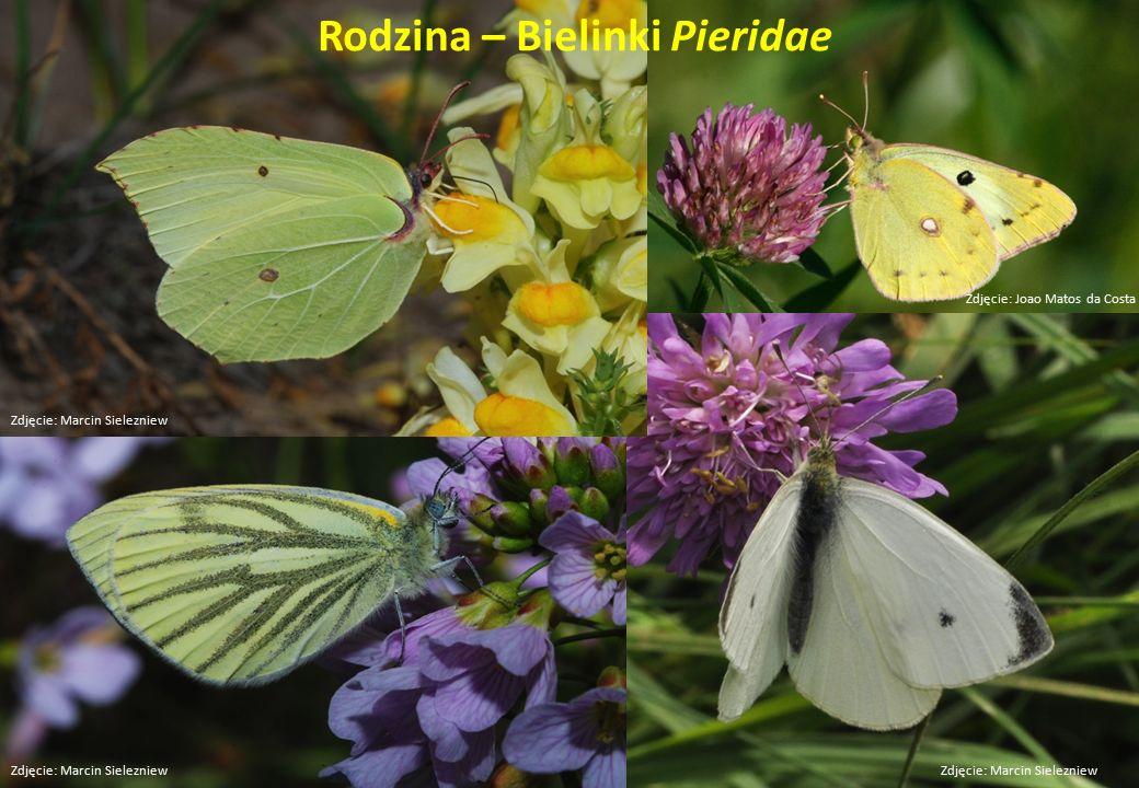 Rodzina – Bielinki Pieridae Zdjęcie: Marcin Sielezniew Zdjęcie: Joao Matos da Costa