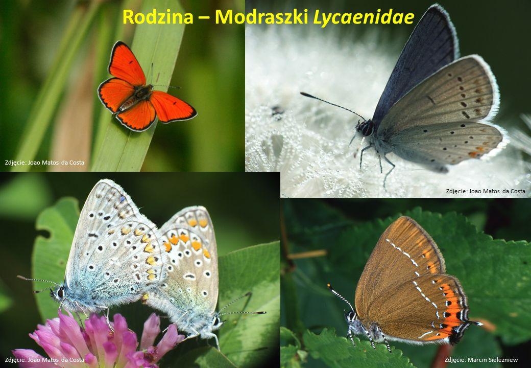 Rodzina – Modraszki Lycaenidae Zdjęcie: Marcin Sielezniew Zdjęcie: Joao Matos da Costa