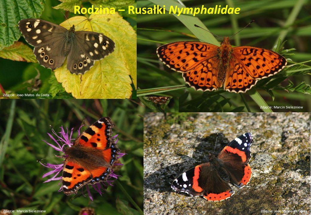 Rodzina – Rusałki Nymphalidae Zdjęcie: Marcin Sielezniew Zdjęcie: Joao Matos da Costa
