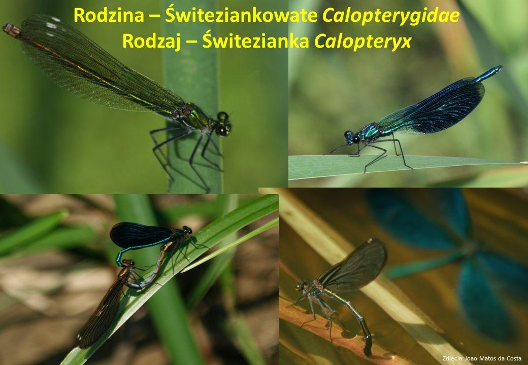 Rodzina – Świteziankowate Calopterygidae Rodzaj – Świtezianka Calopteryx Zdjęcia: Joao Matos da Costa