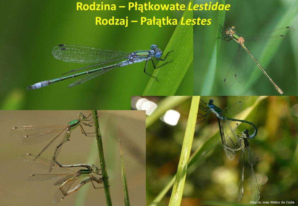 Rodzina – Płątkowate Lestidae Rodzaj – Pałątka Lestes Zdjęcia: Joao Matos da Costa